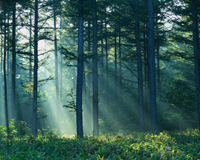 sun beams streaking through a lush green forest